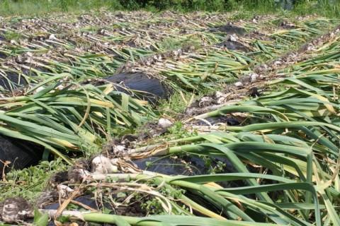 抜いたにんにくを畝の上に並べていきます