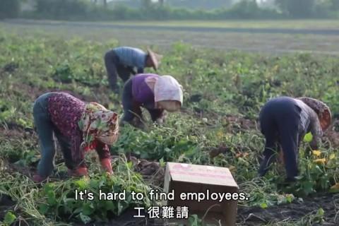 台湾でのサツマイモ収穫