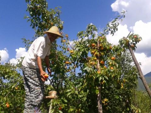 果物の収穫