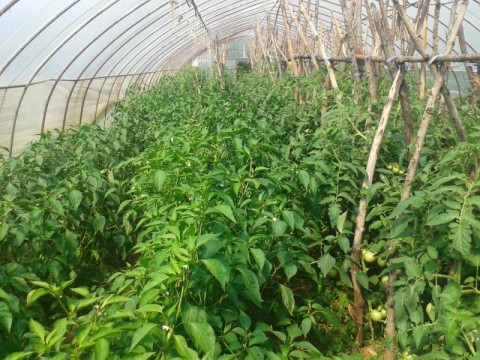 野菜畑その2
